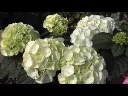 potare le ortensie in vaso come coltivare le ortensie fai da te mania
