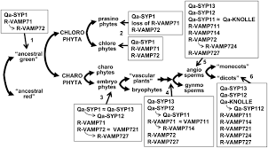 increases in the number of snare genes parallels the rise of