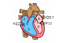 Human Anatomy Quizes Label Of The Human Heart Quiz Proprofs Quiz