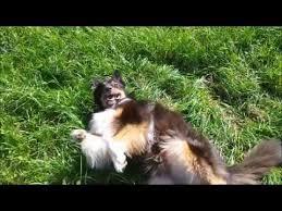 cat with australian shepherd dog tricks with guinness the australian shepherd youtube