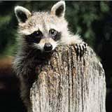 Raccoons In Backyard Best Ways To Get Rid Of Raccoons Getridofthings Com
