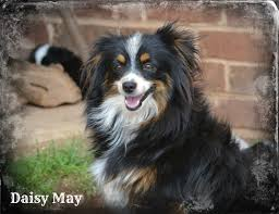 rocking m australian shepherds contact us