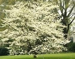 white flowering dogwood flowering dogwood etsy