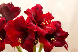 amaryllis flowers how to amaryllis bulbs and use the fresh cut flowers in