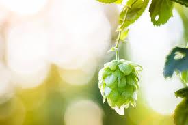 weather hops u2013 varieties of hops plants for zone 9 gardens