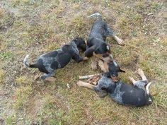 bluetick coonhound puppies joplin mo black and tan coonhound photo black and tan coonhound dog