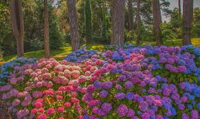 hydrangea full hd wallpaper and background image 2048x1219 id
