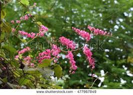 flowering almond ornamental shrub genus prunus stock photo 263537