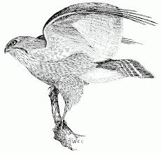file psm v51 d616 broad winged hawk png wikimedia commons