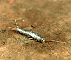 silverfish text images music video glogster edu