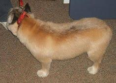 cairn hair cuts new haircuts cairn terriers pinterest cairn terriers and terrier