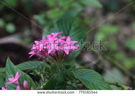 pentas flower pentas flower stock images royalty free images vectors