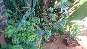 beautiful plants exterior tips to blueberry plants on the home page using clay