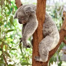 sleeping koalas album on imgur
