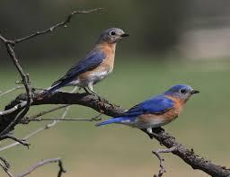 eastern bluebird wikipedia