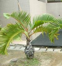 ornamental plants bottle palm plant kaner plant suppliers from india