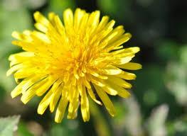 Flower Com Natural Dogherbals Com