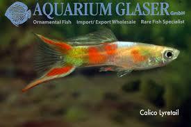 sword guppys aquarium glaser gmbh