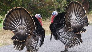 where did turkeys originally come from reference