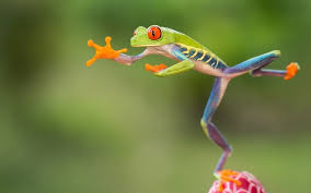 in pictures jumping eyed tree frogs of costa rica by nicolas