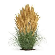 3d model ornamental grass 2 cgtrader