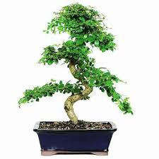 8515 best bonsai images on bonsai trees gardening and