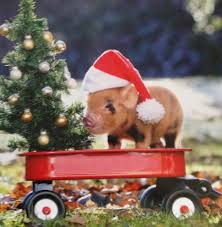 christmas pig merry christmas oh dear this is much for me mini pigs