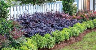 create big garden appeal with compact loropetalum southern