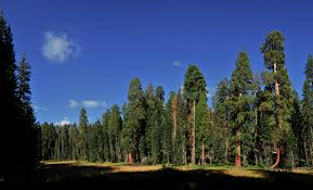 california s forests where all the big trees
