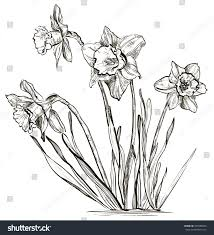 sketch daffodil flower narcissus flower raster stock illustration