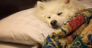 american eskimo dog new zealand ruckus the eskie time for a dog nap