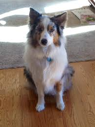 7 month old australian shepherd puppy first time aussie owner my aussie u0027s ear has started standing up