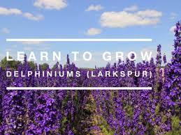 delphinium flowers learn to grow delphinium flowers gardening channel