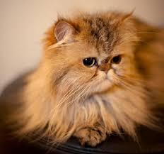 gatti persiani bianchi gatto persiano carattere e prezzo idee green