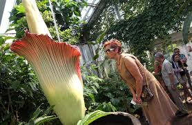 tourists flock to see a giant flower that smells like rotting