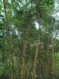 bambusa vulgaris wikipedia