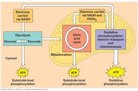 what is the chemical equation for cellular respiration socratic