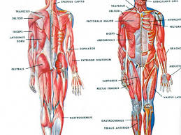 Anatomy And Physiology Definitions Organs And Organ Systems Definition Anatomy And Physiology Body