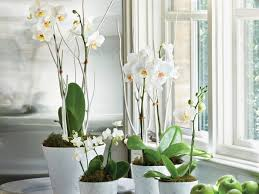 moth orchid moth orchids growing guide southern living