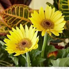 Daisy The Flower - how to get gerbera daisy seeds from the flower gerbera daisy