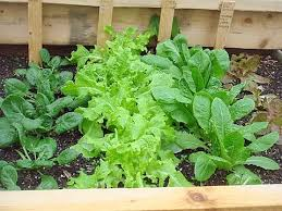 grow all winter in a cold frame made from recycled materials the