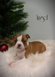 boston terrier puppies for sale lancaster puppies