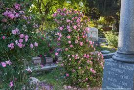 cemetery roses