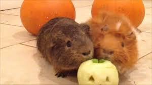 a halloween treat for guinea pigs little pumpkin youtube