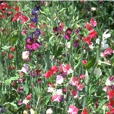 everlasting sweet pea peaceful valley sweet pea seeds spice mix