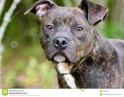 american pitbull terrier mix brindle american pitbull terrier dog stock photo image 84082685