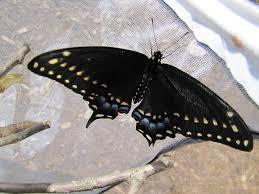 things black swallowtail butterflies