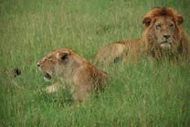 imagenes de leones salvajes gratis fotos gratis pradera fauna silvestre áfrica melena descanso