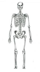 human skeleton by sgogalator on deviantart