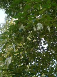 Cottonwood Tree Flowers - pacific northwest nature for families black cottonwood tree